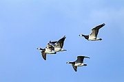 Weisswangengaense erreichen eine Fluegelspannweite von 130 - 145cm  -  (Nonnengans - Foto Weisswangengaense im Flug), Branta leucopsis, Barnacle Goose has a wingspan of 130 to 145cm  -  (Photo Barnacle Geese in flight)