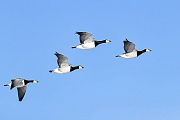 Weisswangengaense sind im Flug sehr ruffreudig, Branta leucopsis, Barnacle Geese are in the flight highly vocal