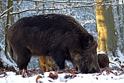 Wild Boar, females have smaller home ranges than males  -  (Eurasian Wild Pig - Photo female and young Wild Boar foraging)