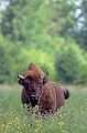 European Bison bull standing in a forest meadow - (Wisent - European Wood Bison)