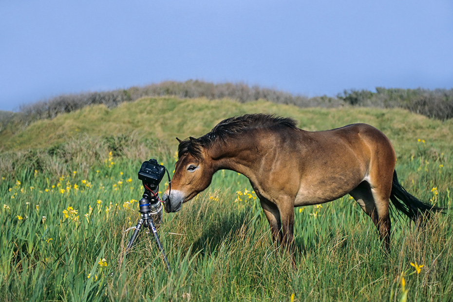 Exmoor-Pony kontrolliert die Fotoausruestung, Vogelinsel Texel  -  Niederlande, Exmoor Horse tests the photo-equipment