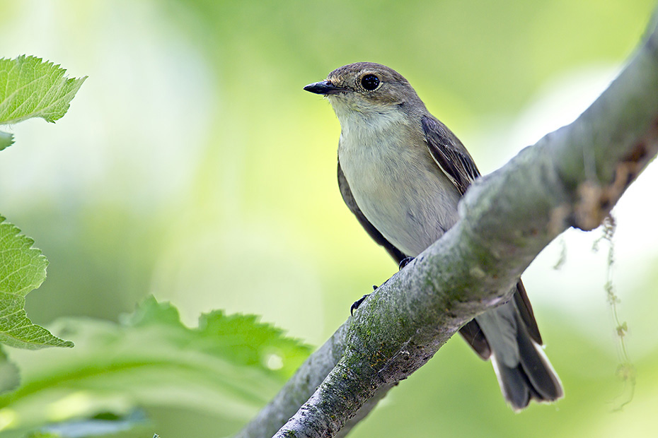 Trauerschnaepper sind in Europa und Westasien weitverbreitet  -  (Foto Altvogel), Ficedula hypoleuca, European Pied Flycatcher is widespread in Europe and western Asia  -  (Photo adult bird)