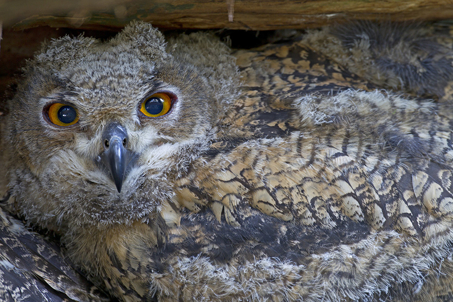 Uhu, das Weibchen bebruetet das Gelege und behuetet die ersten Wochen die Jungvoegel  -  (Foto Jungvogel Portraetaufnahme), Bubo bubo, Eurasian eagle-owl, the female incubates the eggs and broods the young  -  (Eagle Owl - Photo portrait of a young bird)