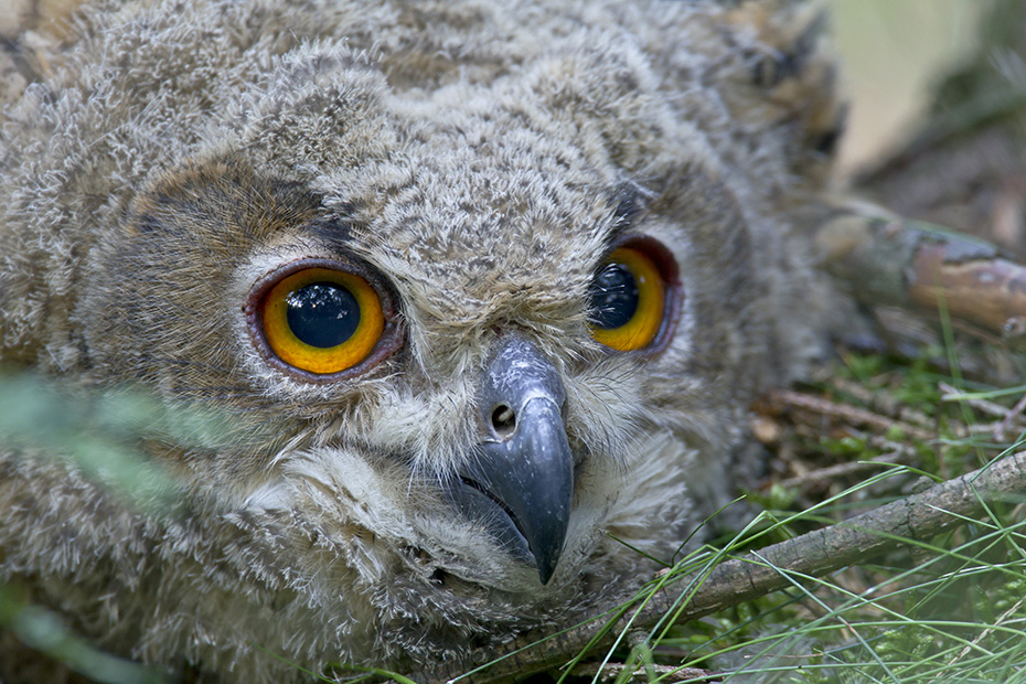 Uhu, die durchschnittliche Gelegegroesse besteht aus 1 - 4 Eiern  -  (Foto Jungvogel Portraet), Bubo bubo, Eurasian eagle-owl, the clutch size is usually 1 to 4 eggs  -  (Eagle Owl - Photo portrait of a young bird)