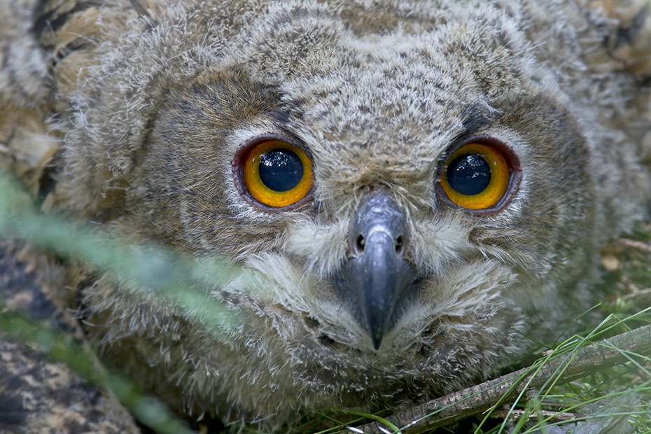 Uhu, das Weibchen legt die Eier im Abstand von 3 Tagen  -  (Foto Jungvogel Portraetaufnahme), Bubo bubo, Eurasian eagle-owl, the eggs are normally laid at intervals of 3 days  -  (Eagle Owl - Photo portrait of a young bird)