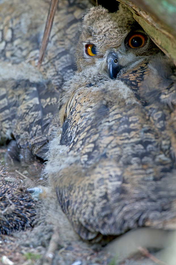 Uhu, das Weibchen fuettert die Jungen, das Maennchen bringt die Nahrung  -  (Foto Jungvogel), Bubo bubo, Eurasian eagle-owl, the female feeds the nestlings, the male bring the prey  -  (Eagle Owl - Photo chick)