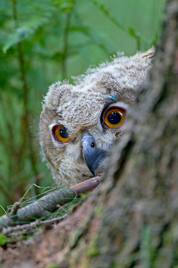 Uhu kann in freier Wildbahn ein Alter von ueber 20 Jahren erreichen  -  (Foto Jungvogel), Bubo bubo, Eurasian eagle-owl can live for up to 20 years in the wild  -  (Eagle Owl - Photo chick)