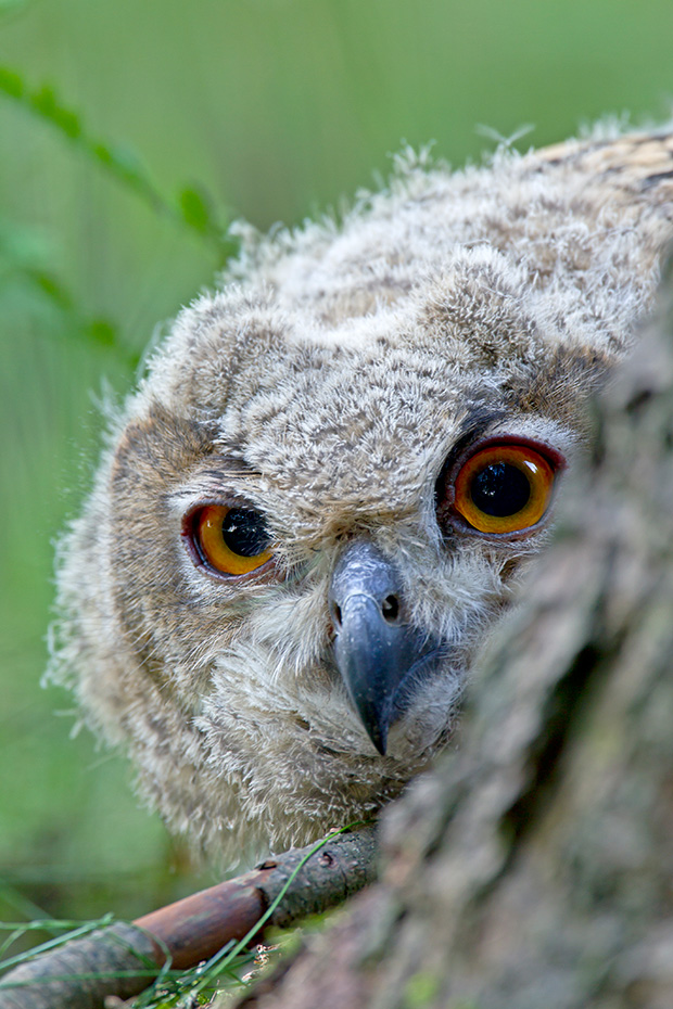 Uhu ist stark an sein Revier gebunden und verteidigt dieses vehement  -  (Foto Jungvogel), Bubo bubo, Eurasian eagle-owl are strictly territorial and defend their territories  -  (Eagle Owl - Photo young bird)