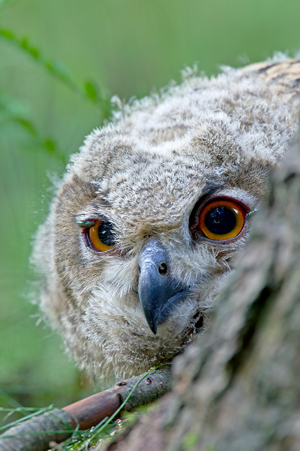 Uhu, die Jungvoegel koennen im Alter von 5 Wochen laufen  -  (Foto Jungvogel), Bubo bubo, Eurasian eagle-owl, the chicks can walk well at 5 weeks of age  -  (Eagle Owl - Photo chick)