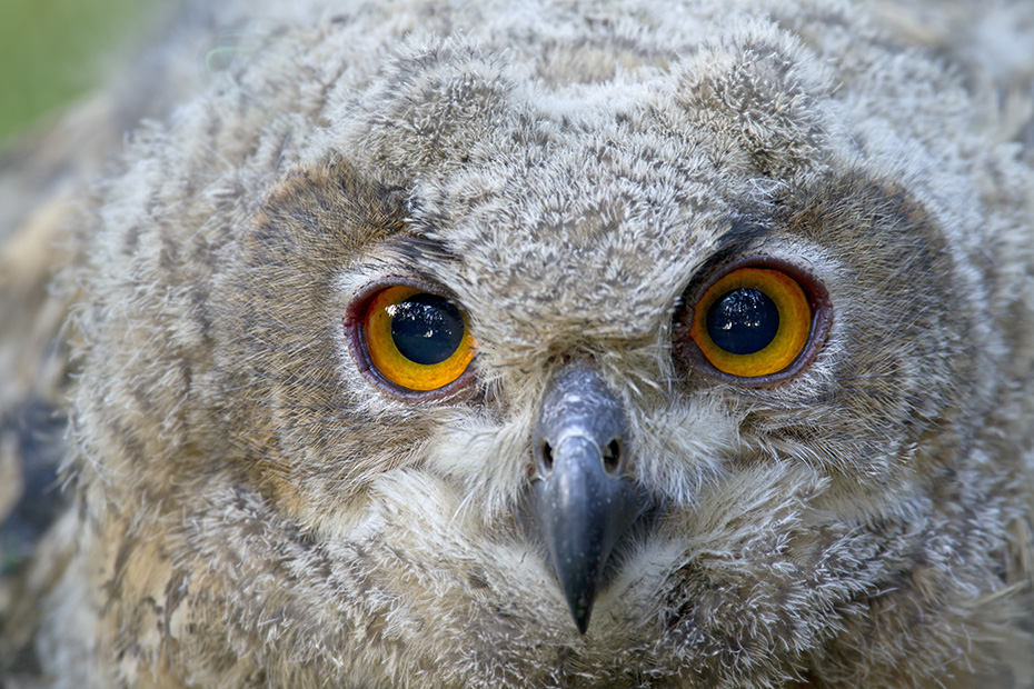 Uhu, die Jungvoegel wachsen sehr schnell  -  (Foto Jungvogel Portraet), Bubo bubo, Eurasian eagle-owl, the chicks grow rapidly  -  (Eagle Owl - Photo portrait of a young bird)