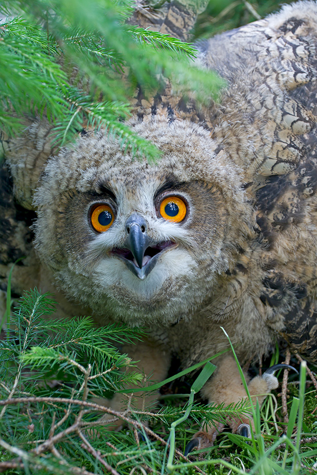 Uhu ist eine der am weitesten verbreiteten Eulenarten und besiedelt viele unterschiedliche Lebensraeume  -  (Foto Jungvogel), Bubo bubo, Eurasian eagle-owl is one of the most widely distributed owls  -  (Eagle Owl - Photo chick)