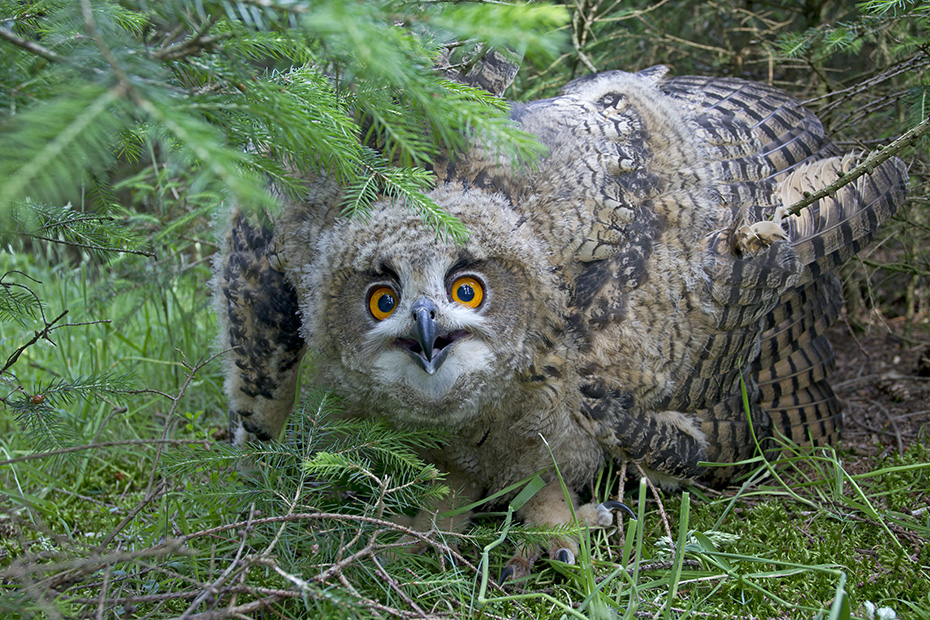 Uhu, der Tod durch Stromschlag verursacht die hoechste Todesrate  -  (Foto Jungvogel), Bubo bubo, Eurasian eagle-owl, electrocution was the greatest cause of mortality  -  (Eagle Owl - Photo chick)