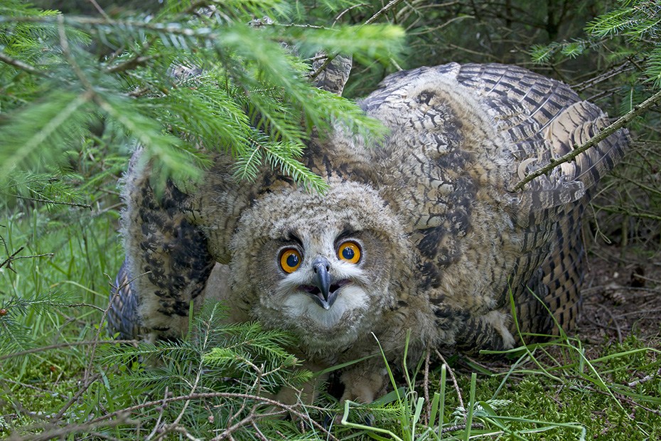 Uhus sind typische Nachtjaeger  -  (Foto Jungvogel), Bubo bubo, Eurasian eagle-owl is a largely nocturnal predator  -  (Eagle Owl - Photo chick)