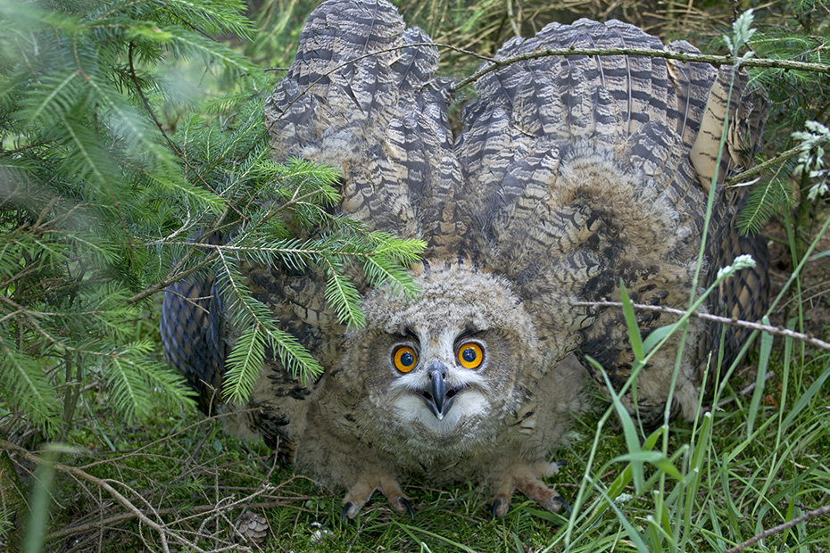 Uhu, bezeugt ist der Name fuer diese Eulenart seit dem 16. Jahrhundert  -  (Foto Uhu Jungvogel Drohhaltung), Bubo bubo, Eurasian eagle-owl, the name for this owl species is attested since the 16th century  -  (Eagle Owl - Photo Eurasian eagle-owl chick in threatening posture)