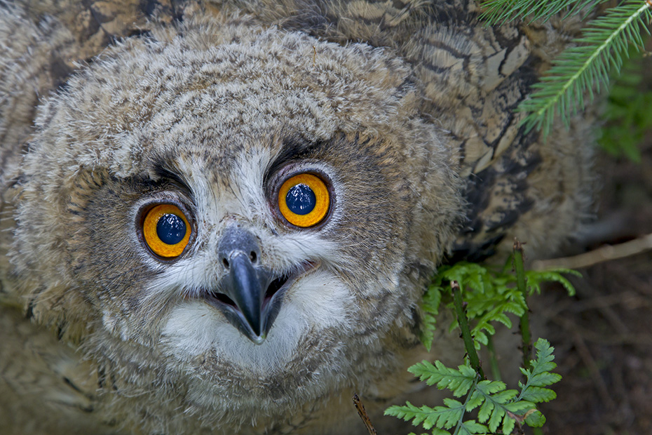 Uhu schlaegt seine Vogelbeute bevorzugt Nachts, wenn diese auf Aesten ruhen  -  (Foto Jungvogel Drohhaltung), Bubo bubo, Eurasian eagle-owl, the first egg hatches after 31 to 36 days of incubation  -  (Eagle Owl - Photo chick in threatening posture)