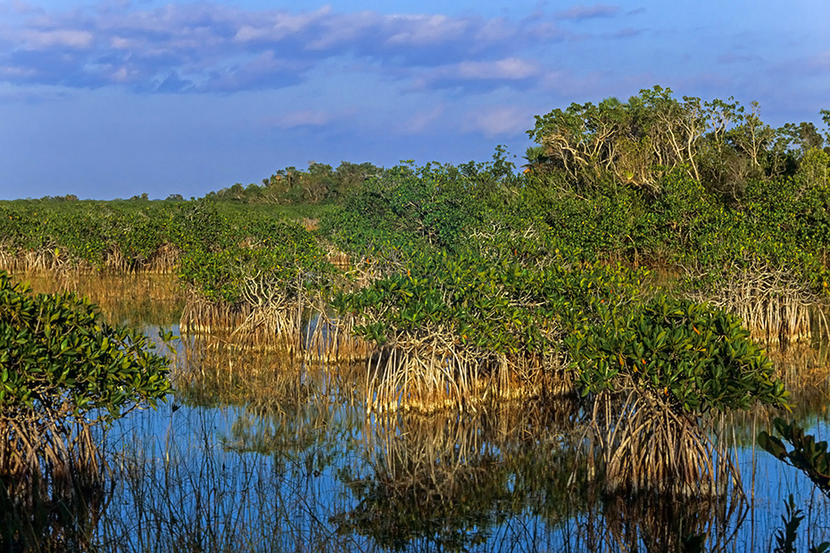 Rote Mangroven in den Everglades, Everglades Nationalpark  -  Florida, Red Mangroves in the Everglades