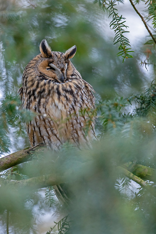 Das eine Waldohreule am Schlafplatz so ungeschuetzt ruht ist ein seltener Anblick, in der Regel sitzen sie in guter Deckung im Geaest oder nah am Baumstamm, Asio otus, That a Long-eared owl rests so exposed at the roost is a rare sight, usually they perch in good cover between branches or close to the tree trunk