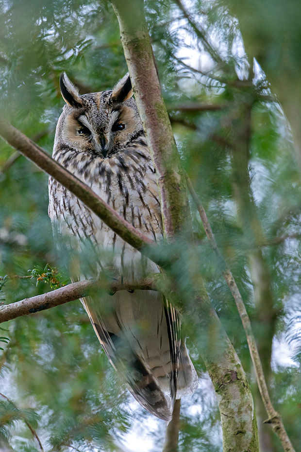 Waldohreule, ein Gelege besteht in der Regel aus 4 - 6 Eiern  -  (Foto Waldohreule an einem Eulenschlafplatz), Asio otus, Long-eared owl, the average clutch size is 4 - 6 eggs  -  (Lesser Horned Owl - Photo Long-eared owl at the roosting place)