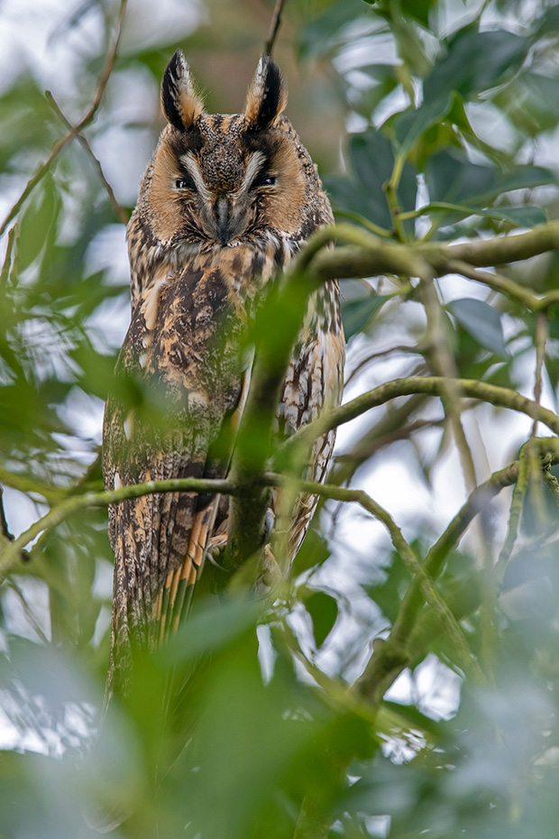 Die Waldohreule erreicht eine Koerperlaenge von etwa 36 cm  -  (Foto Waldohreule am Schlafplatz), Asio otus, The Long-eared reaches a body length of about 36 cm  -  (Northern Long-eared owl - Photo Long-eared owl at roosting place)