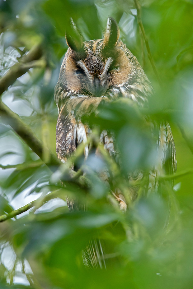Die Waldohreule erreicht eine Fluegelspannweite von etwa 95 cm  -  (Foto Waldohreule am Schlafplatz), Asio otus, The Long-eared reaches a wingspan of about 95 cm  -  (Northern Long-eared owl - Photo Long-eared owl at roosting place)