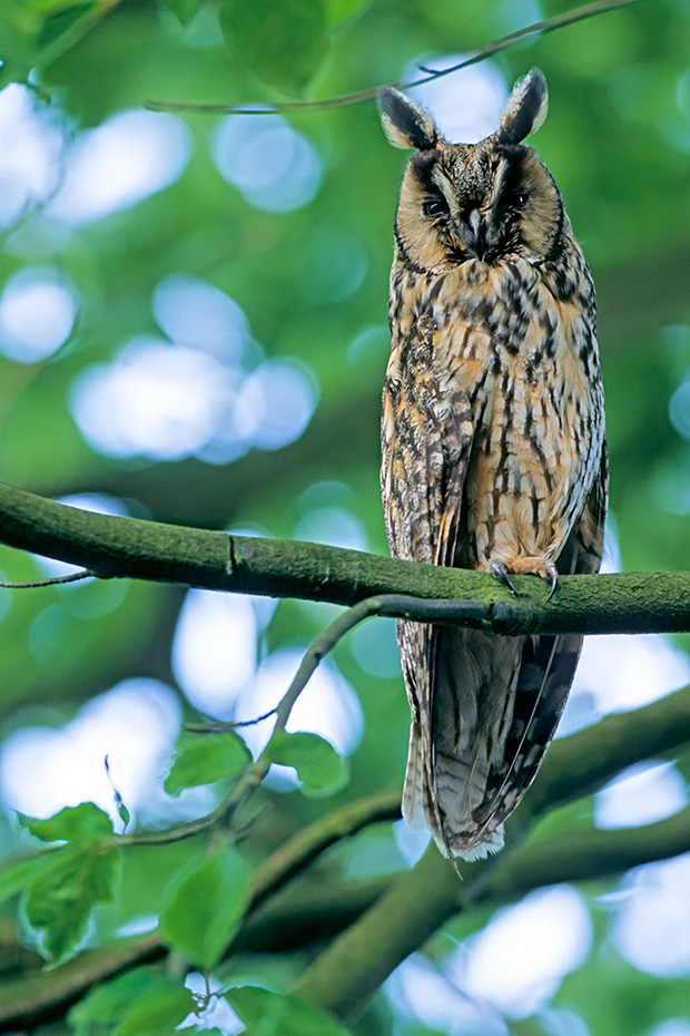 Waldohreule, das Weibchen ist groesser als das Maennchen  -  (Foto Altvogel), Asio otus, Long-eared Owl, the female is larger in size than the male  -  (Photo adult bird)