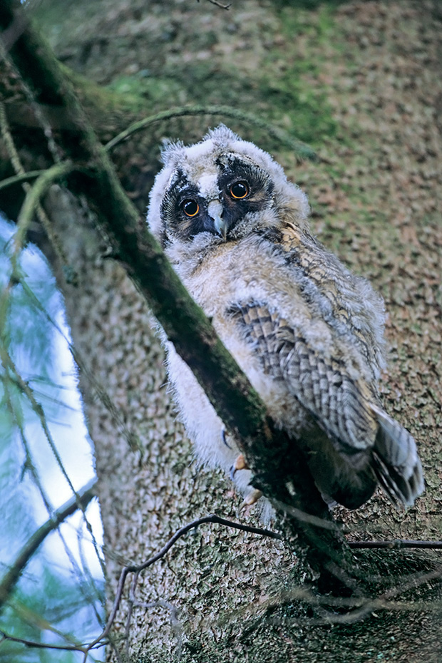 Waldohreule, die Brutzeit dauert 25 - 30 Tage  -  (Foto Jungvogel Aestling), Asio otus, Long-eared Owl, the incubation time averages from 25 to 30 days  -  (Photo juvenile bird)