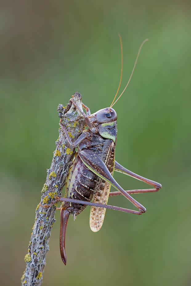 Warzenbeisser leben auf kalkhaltigen, offenen Grasflaechen und in Heidegebieten  -  (Foto Weibchen mit deutlich sichtbarer Legeroehre), Decticus verrucivorus, Wart-biter is found in calcareous grassland and heathland habitats  -  (Photo female with egg-laying organ)