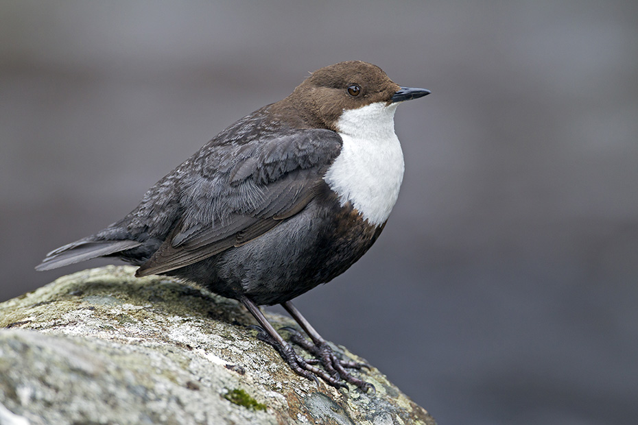 Wasseramsel, der Flug ist schnell und geradlinig  -  (Eurasische Wasseramsel - Foto Altvogel), Cinclus cinclus, White-throated Dipper flies rapidly and straight  -  (European Dipper - Photo adult bird)