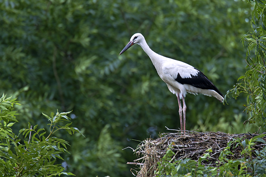 Weissstorch, die Altvoegel haben einen grossen roten Schnabel sowie lange rote Beine - (Foto Altvoegel bei der Balz), Ciconia ciconia, White Stork is a large bird and the adults have long red legs and long red beaks - (Photo display)
