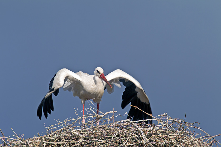 Weissstorch ist ein Zugvogel und gehoert zu den Langstreckenziehern, viele Tiere ueberwintern im suedlichen Afrika - (Foto Altvoegel bei der Balz), Ciconia ciconia, White Stork is a long-distance migrant - (Photo display)