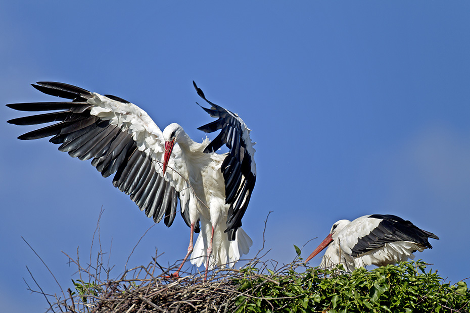 Weissstorch hat eine Fluegelspannweite von 155 - 215cm - (Foto Altvoegel bei der Paarung), Ciconia ciconia, White Stork has a wingspan of 155 to 215cm - (Photo adult birds mating)