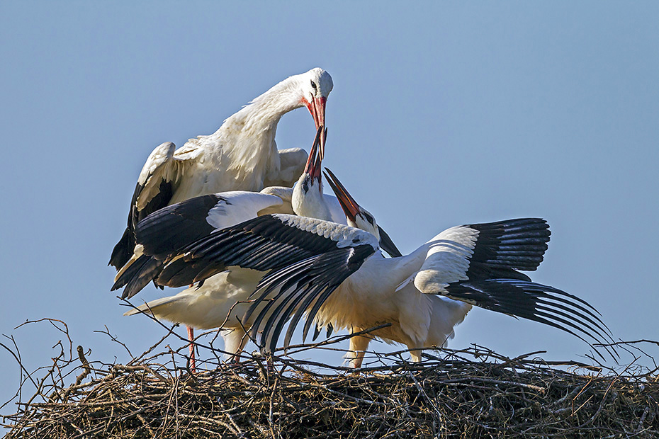 Weissstorch, das Gelege besteht in der Regel aus 2 - 4 Eiern - (Foto Jungvoegel kurz vor dem Verlassen des Horstes), Ciconia ciconia, White Stork lays usually 2 to 4 eggs - (Photo juvenile birds 2 months of age)