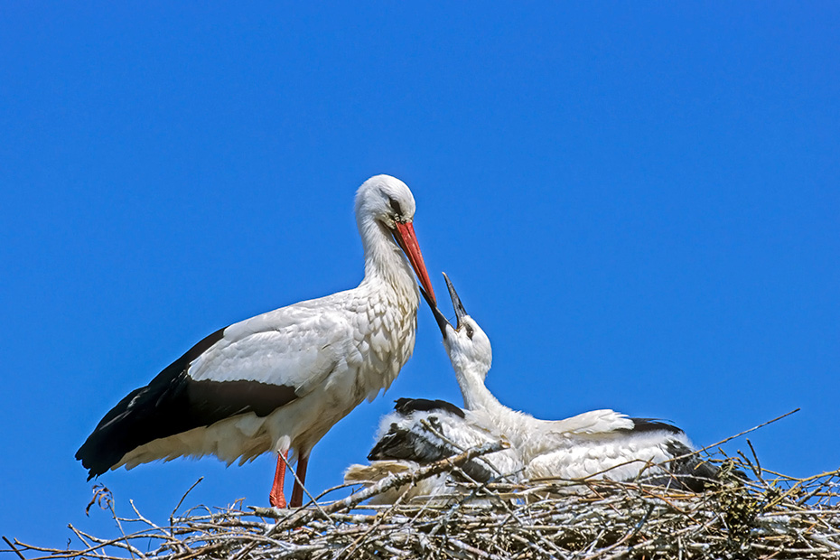 Weissstorch, mit dem Legen des ersten Ei beginnt das Bebrueten des Geleges, dadurch schluepfen die Jungvoegel an verschiedenen Tagen - (Foto Altvogel bringt Nistmaterial zum Horst), Ciconia ciconia, White Stork, the incubation begins as the first egg is laid - (Photo adult bird with nesting material)