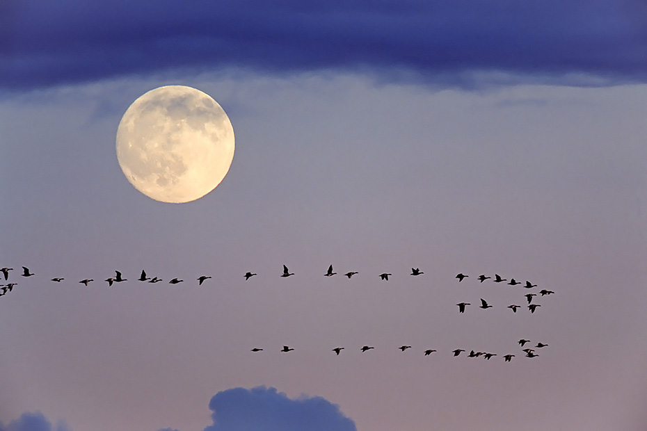 Weisswangengaense brueten einmal im Jahr  -  (Nonnengans - Foto Weisswangengaense waehrend des Vogelzugs vor dem Mond - (M)), Branta leucopsis, Barnacle Goose, one brood each year is normal -  (Photo Barnacle Geese during the migration in front of the moon - (M))