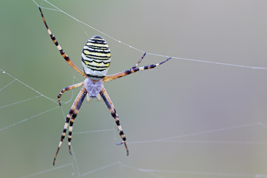 Wespenspinne, das Spinnennetz faellt durch sein Zickzacklinien-Muster auf  -  (Tigerspinne - Foto Weibchen), Argiope bruennichi, Wasp Spider, the prominent zigzag shape of the orb web is called web decoration  -  (Photo female)
