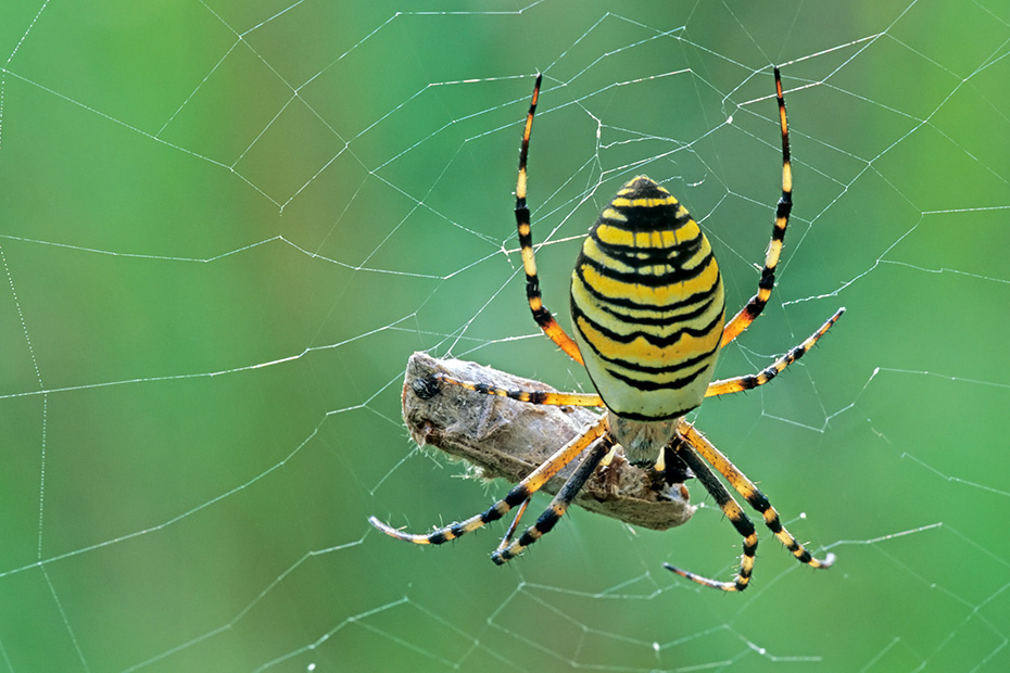 Wespenspinne, auffaellig ist der gelb-schwarz gestreifte Hinterleib  -  (Tigerspinne - Foto Weibchen mit Grashuepfer), Argiope bruennichi, Wasp Spider shows striking yellow and black markings on the abdomen  -  (Photo female with grasshopper)
