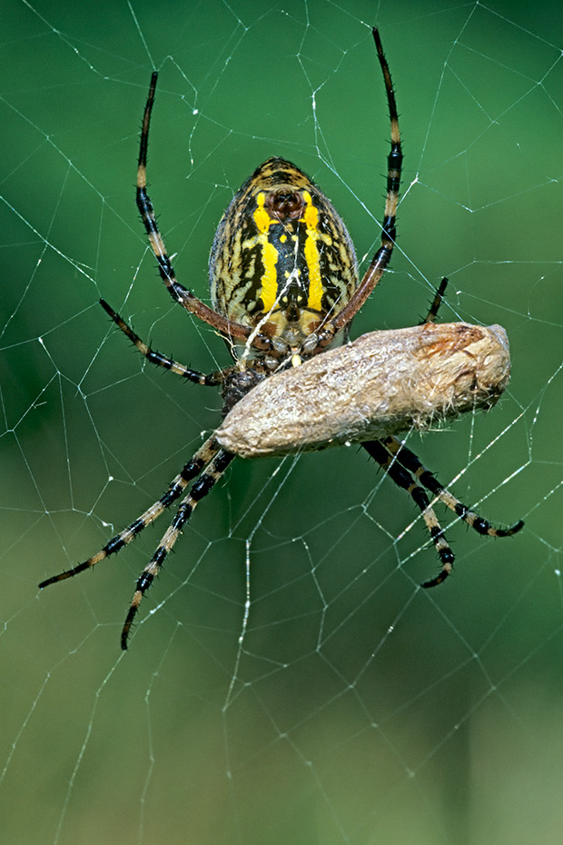 Wespenspinne gehoert zur Familie der Radnetzspinnen  -  (Tigerspinne - Foto Weibchen mit Grashuepfer), Argiope bruennichi, Wasp Spider is a species of orb-web spider  -  (Photo female with grasshopper)