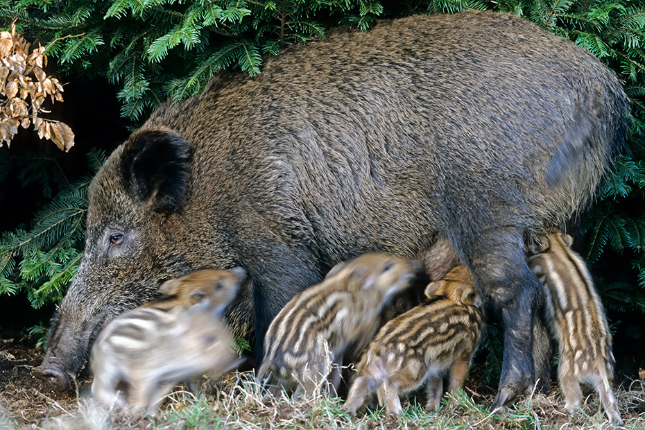 Wildschwein, im Alter von 3 - 4 Monaten werden die Frischlinge entwoehnt  -  (Schwarzwild - Foto Bache saeugt ihre Frischlinge), Sus scrofa, Wild Boar, the piglets are weaned at 3 to 4 months  -  (Wild Swine - Photo Wild Boar piglets suckling)