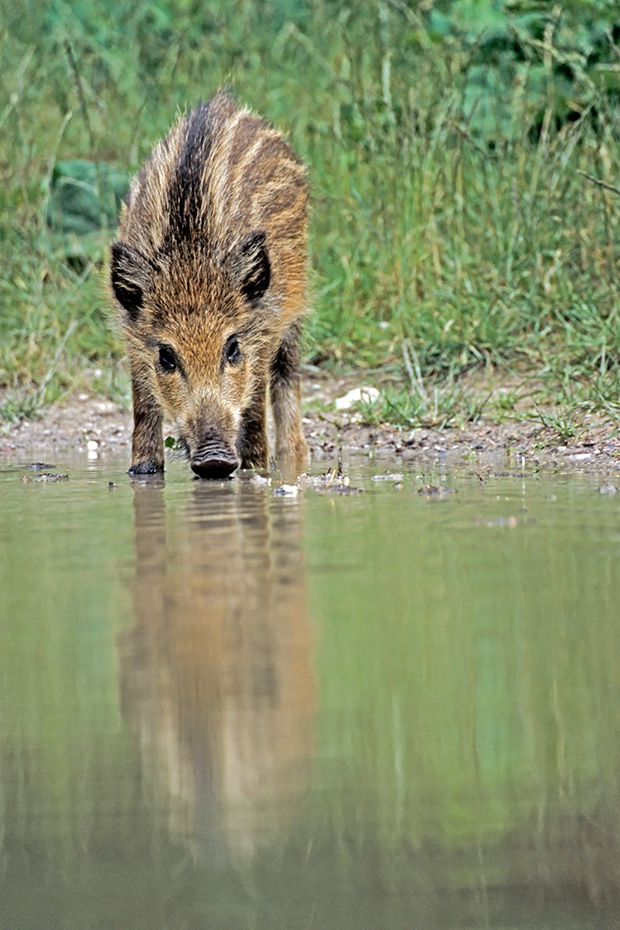 Wildschwein, im Alter von 3 - 4 Monaten werden die Frischlinge entwoehnt  -  (Schwarzwild - Foto Frischling an einer Wasserstelle), Sus scrofa, Wild Boar, the piglets are weaned at 3 to 4 months  -  (Wild Swine - Photo Wild Boar piglet drinking)