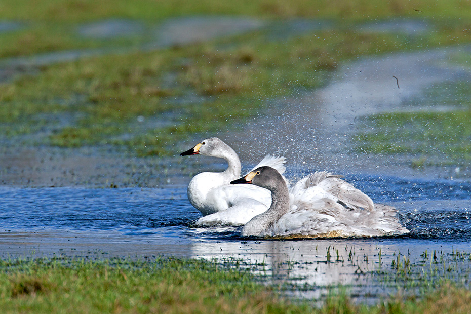 Zwergschwan ist die kleinste aller europaeischen Schwanenarten  -  (Foto Altvoegel), Cygnus bewickii, Bewicks Swan is the smallest of the European swans  -  (Photo adult birds)
