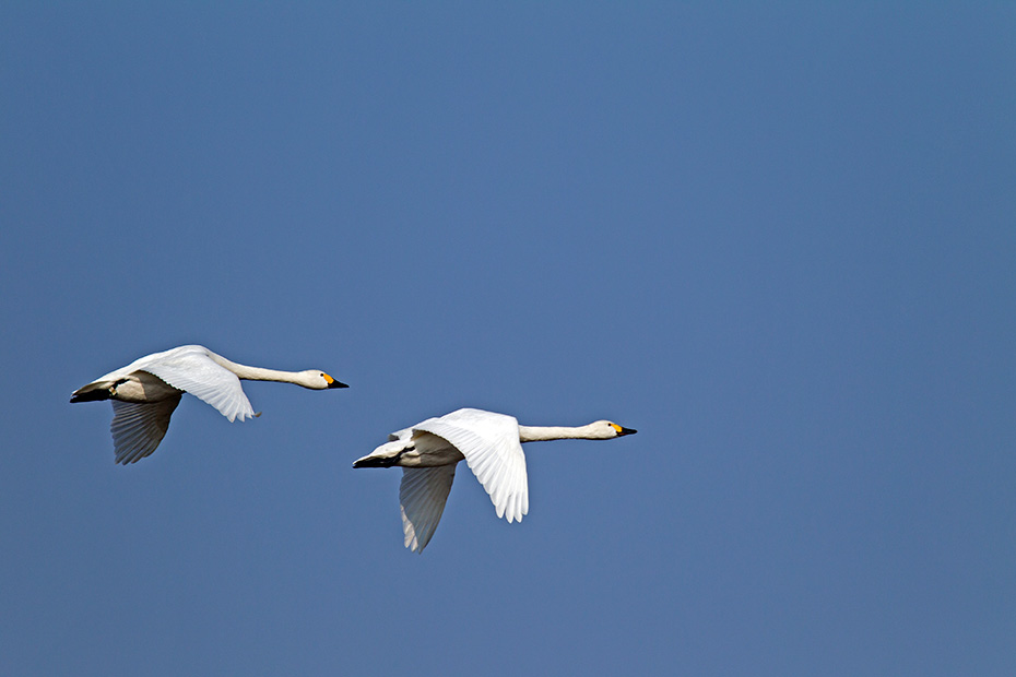 Zwergschwan ist eine Schwanenart, die auf der Nordhalbkugel vorkommt  -  (Foto Altvoegel), Cygnus bewickii, Bewicks Swan is a Northern Hemisphere swan  -  (Photo adult birds)